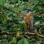 Boat-billed Heron - Kahnschnabel