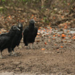 Black Vultures - Rabengeier