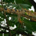 Green Iguana - Leguan