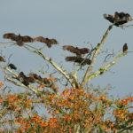 Turkey Vultures - Truthahn und Rebengeier trocknen ihr Gefieder