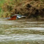 Ringed Kingfisher - Rotbrustfischer