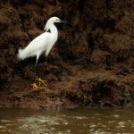 Snowy Egret - Schmuckreiher