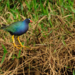 Purple Gallinule - Zwergsultanshuhn