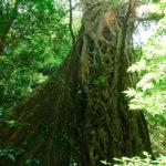 Würgelianen nehmen den Baum in ihren Besitz...