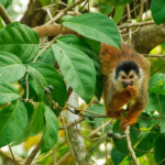 Squirrel Monkey - die kleinsten in Costa Rica