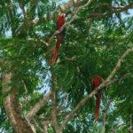 Scarlet Macaw - Rote Aras - sehr selten und bedroht