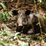 Ein Junger Tapir!