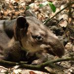 Ein Junger Tapir. Das Halsband ist ein Sender um ihn vor Wilderern zu schützen.