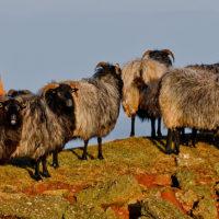 Helgolands Ponys...