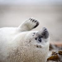 Die jungen Kegelrobben können noch nicht schwimmen, da das weiße Fell nicht wasserdicht ist