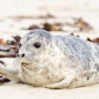 Junger Seehund auf der Helgoländer Düne