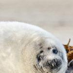 Junge Kegelrobbe auf der Düne bei Helgoland