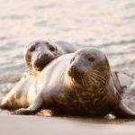 Robben auf der Düne bei Helgoland