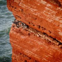 Lummen an der roten Klippe Helgolands