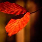 Herbst, Buche in wunderschöner Färbung