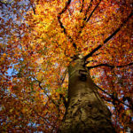 Herbstlaub, Buche