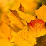 Herbstlaub, Ahorn