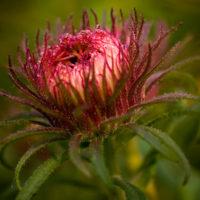 Wunderschöne aufgehende Blüte mit Tautropfen