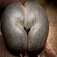 Die Nuss der weiblichen Coco de Mer