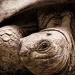 Die Landschildkröten werden über einen Meter lang und bis zu 150 Jahre alt!