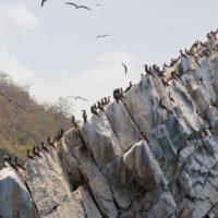 Hunderte dieser Vögel leben hier auf dem Felsen