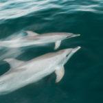 Delfine verfolgen unser Boot