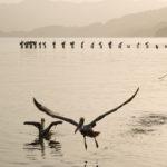 Pelikane immer auf der Suche nach Essbarem