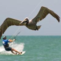 Nur die Pelikane fliegen noch besser...