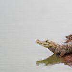 Krokodil in den Llanos