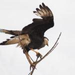 Raubvogel in den Llanos
