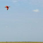Purpurfarbener Ibis in den Llanos