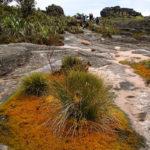 Interessante Pflanzen wachsen als Polster auf den Felsen